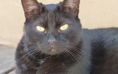 Le point sur le lymphome digestif de bas grade chez le chat : pronostic et traitements au Chlorambucil