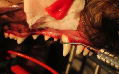 traitement d'une communication oro-nasale (fistule) d'origine dentaire chez un chien