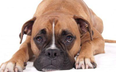 Adénocarcinome recto-colique  chez un chien (attention images chirurgicales)