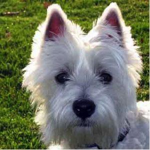 chien de race west highland white terrier