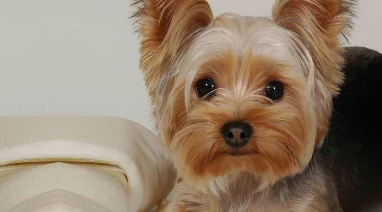 Mise en place d'un stent trachéal chez un chien tousseur