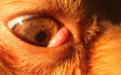 Luxation de la glande lacrymale chez un chien.