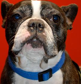 Votre chien est atopique: quelques conseils