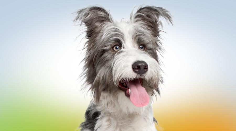 Injections intra-articulaires d'acide hyaluronique chez le chien arthrosique.